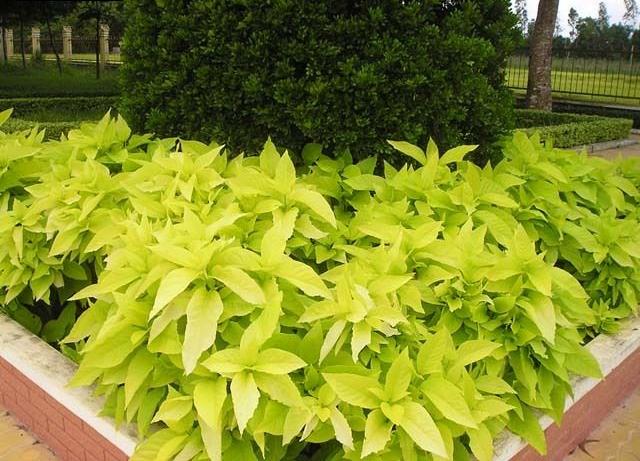 Cây Bạch Trạng - Màu sắc tươi tắn cho cảnh quan - Green Trees