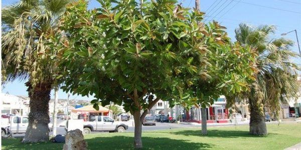 cây đa búp đỏ