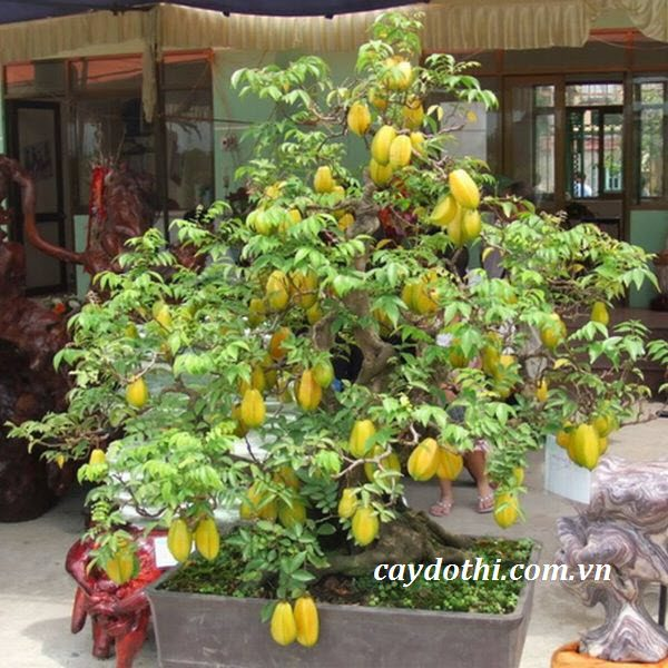 cay-khe-bonsai