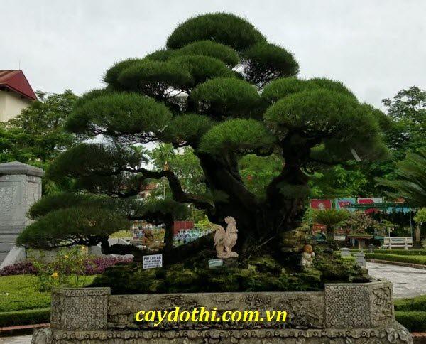cay-phi-lao-bonsai