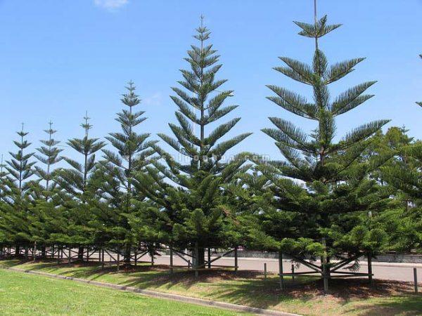 Hàng cây Tùng Bách trồng bên đường